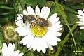 Cf. Andrena sp. (NH cestička) (21647598856).jpg