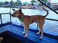 Chó cỏ ở Cần Thơ (chợ nổi) năm 2014 (1a) (7).JPG
