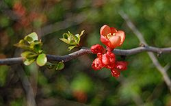 meaning of chaenomeles