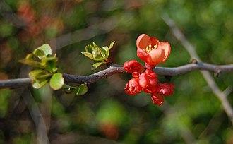 Chaenomeles - Chaenomeles japonica