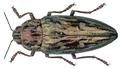 Chalcophora massiliensis (Villers, 1789).png