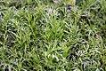 Chamaemelum nobile 4zz.jpg