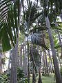 Chambeyronia macrocarpa - Parc Exotica.JPG