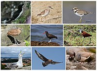 Charadriiformes Diversity.jpg