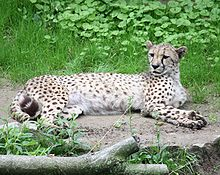الفهد 220px-Cheetah_0592.j