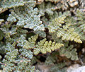 Cheilanthes feei 4.jpg
