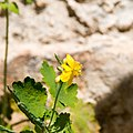 Chelidonium majus, Fleur U, 2015-04-15.jpg
