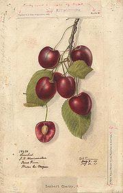 Cerezas (variedad Lambert)