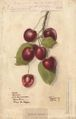 Cherries 38450lg.jpg