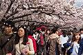 Cherry Blossom in Jinhae-2016-04-02-2.jpg