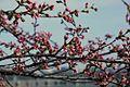 Cherry blossoms 0003 - 2012-03-15 (6848900340).jpg
