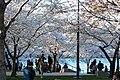 Cherry blossoms 0011 - Washington DC - 2014-04-10 (13773232274).jpg