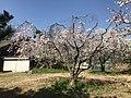 Cherry blossoms 20180328-2.jpg