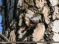 Chestnut-bellied Nuthatch (Sitta cinnamoventris) (37799122941).jpg