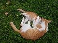Chiang Mai kitties - 2017-07-09 (001).jpg
