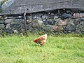 Chicken and re-used black-house at Am Baile - geograph.org.uk - 1500227.jpg