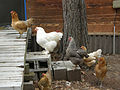 Chickens-in-line2.jpg