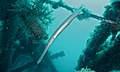 Chinese Trumpetfish (Aulostomus chinensis) (6103398510).jpg