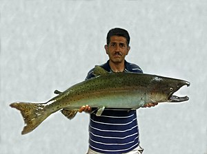 San Tomas Aquino Creek - Roger Castillo, a founder of the Salmon and Steelhead Restoration Group, with a giant Chinook salmon (Oncorhynchus tshawytscha), now a taxidermy wall mount specimen, that he recovered from San Tomas Aquino Creek below Highway 237 in mid-October, 1996.