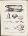 Chlamydophorus truncatus - 1700-1880 - Print - Iconographia Zoologica - Special Collections University of Amsterdam - UBA01 IZ21000029.tif