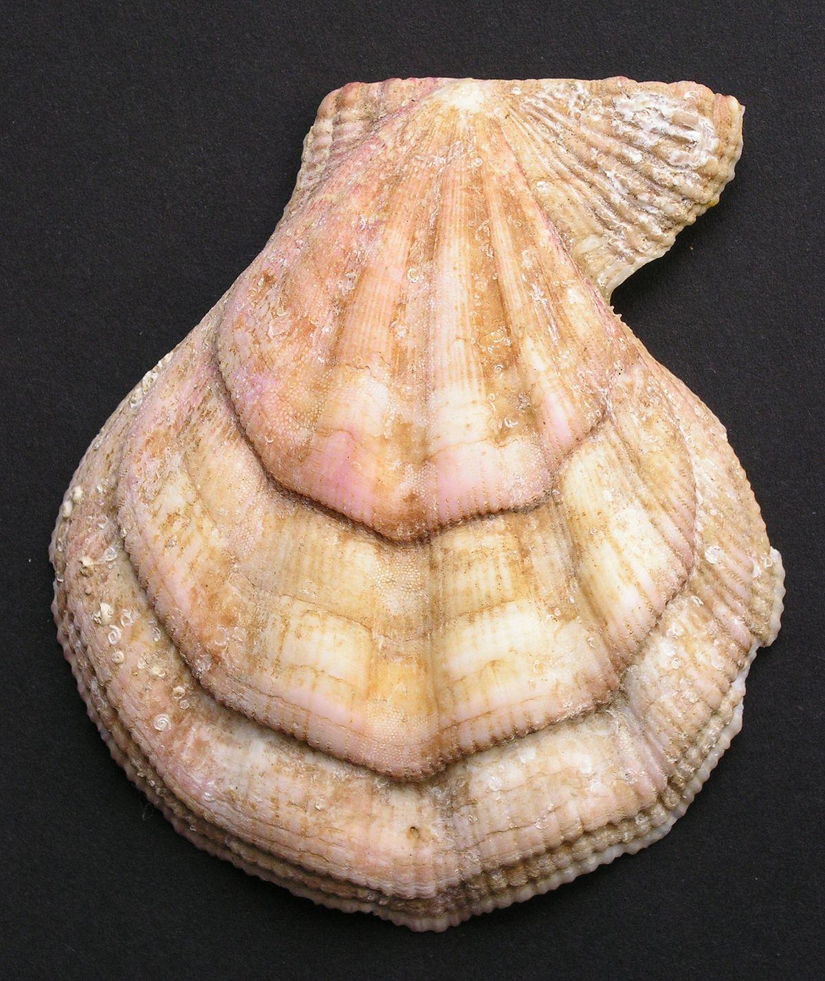 chlamys muschel � wikipedia