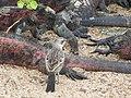 Christmas Iguanas - Marine Iguanas - Espanola - Hood - Galapagos Islands - Ecuador (4871411472).jpg