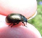 Chrysolina5059975.06w.jpg