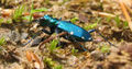 Cicindela sexguttata - six-spotted tiger beetle - desc-iridescent in sunlight on ground.jpg
