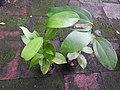 Cinnamomum bejolghota-1-bsi-yercaud-salem-India.jpg