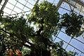 Cinnamomum camphora 5zz.jpg