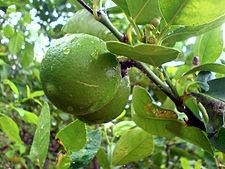 Citrus ×aurantiifolia927505341. jpg