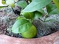 Citrus aurantium 'Seville' - Sour orange.jpg