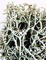 Cladonia furcata-9.jpg