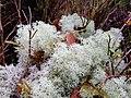 Cladonia portentosa 56580212.jpg