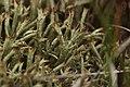 Cladonia uncialis (36329587886).jpg