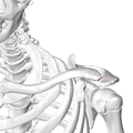 Clavicular facet of left scapula06.png