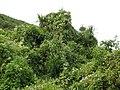 Clematis vitalba smothering a Cordyline australis.jpg