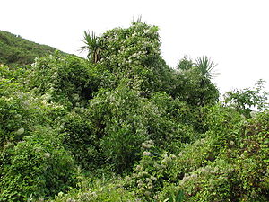 Invasive species in New Zealand - Clematis vitalba (old man's beard) smothering a cabbage tree (Cordyline australis) in the Port Hills of Christchurch