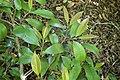 Cleyera japonica kz02.jpg