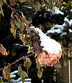 Climbing Rose with fresh snow (5336564749).jpg