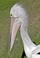 Clontarf Pelican waiting for a fish-1 (7383038022).jpg