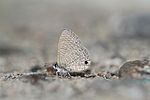 Close wing position of Prosotas dubiosa Semper, 1879 – Tailless Lineblue.jpg