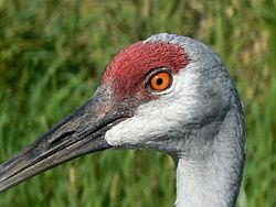 Closeup detail of sandhill crane head and eyes.jpg