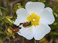Clytra quadripunctata, Sainte-Lucie Island, Aude 02.jpg