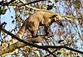 Coati On Branch 3 (6371161251).jpg