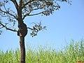 Cocóta, Maitaca Verde ou Maritaca Verde (Pionus maximiliani) na subida da Rodovia Pref. Fábio Talarico SP-345 sentido Franca - panoramio.jpg