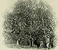 Cocoa and chocolate, a short history of their production and use (1907) (20040705843).jpg
