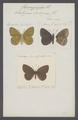 Coenonympha - Print - Iconographia Zoologica - Special Collections University of Amsterdam - UBAINV0274 049 10 0002.tif