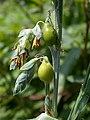 Coix lacryma-jobi inflorescence.jpg