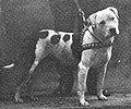 Colby's Pincher, 1896, historical American Pit Bull Terrier dog.jpg